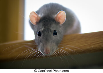 Gray rat - Grey rat sit on the windowsill and look in camera
