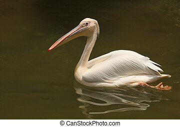 milky stork swiming on lake