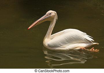 milky stork swiming on lake