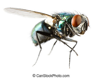 flying house fly in extreme close up on white background