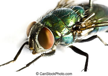 iridescent house fly in close up on light background