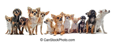 seven chihuahuas - group of chihuahua in front of white...