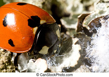 lady bug in close up on natural background