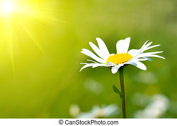 Camomile on the field with green grass
