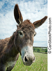 donkey - Donkey in a Field in sunny day, animals series