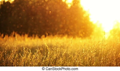 field of grass and sunset 1