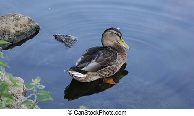 A duck standing in shallow water.