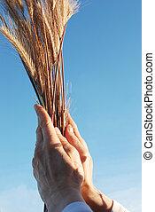 Holding a golden wheat - Hand holding a golden wheat