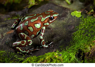 poison dart frog on leaf in south american amazon rain...