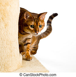 Bengal kitten creeps round corner of climbing frame - Golden...