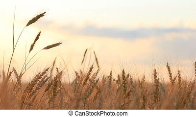 Different ear of wheat on breeze background