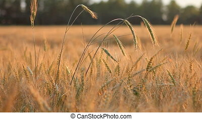 Different ears of wheat on breeze over field panning -...