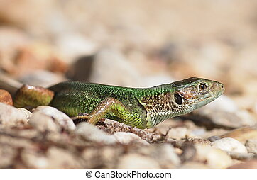 Green lizard, Lacerta