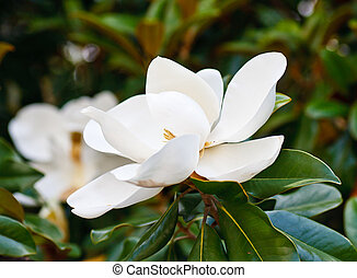 Magnolia Blooms in Tree - Beautiful white magnolia blossoms...