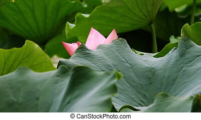waterlily 10