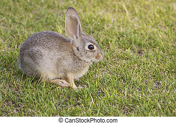 Cottontail Rabbit  - a cottontail rabbit in green grass