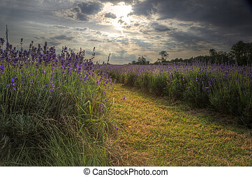 Lovely image of lavender field at sunset with fantastic...