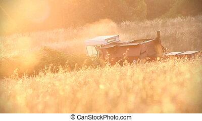 Mature cereal crop. Beautiful suns