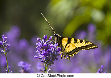 BC Wood nymph butterfly - BC Wood Nymph on Lavender in...