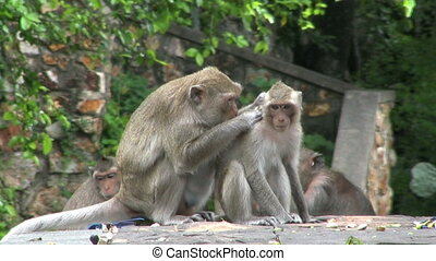 Young Monkey Being Groomed - A young monkey is being groomed...