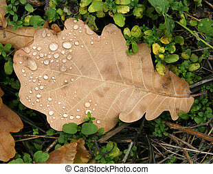 Oak sheet covered with dew drops - The fallen down sheet of...