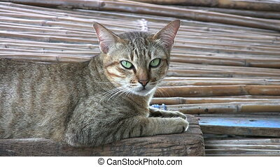 Yawning Slum Cat - A pretty green eyed cat does a big yawn...