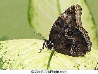 Big tropical butterfly sitting on a green leave