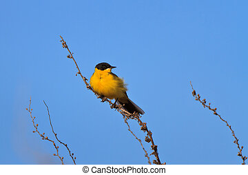 yellow wagtail warble on a tree twig