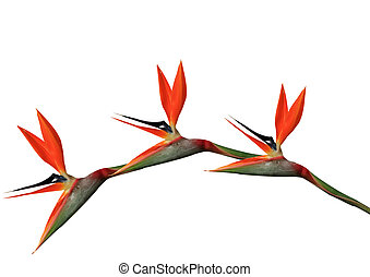 bird of paradise flowers arching on a white background