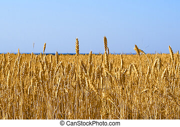 Yellow grain growing in a farm field before harvest