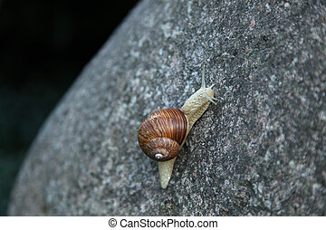 Helix pomatia - a vineyard snail on a stone in Germany