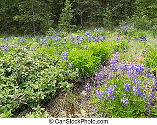 Arctic lupine blooming in boreal forest