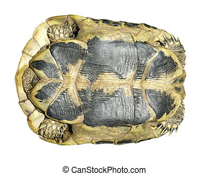 Hermans Tortoise turtle isolated on white background testudo...