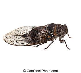 insecto, cigarra, aislado, blanco