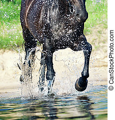 trotting horse in water closeup - trotting black stallion in...