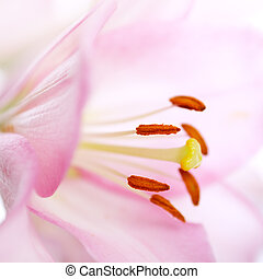 Pink lily close up on a light background