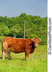 Limousin cows - Brown Limousin cow as typical breed in...