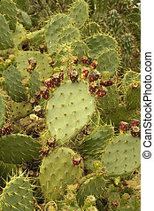 cactus - Picture of a cactus with fruit ready to eat