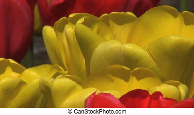 Red And Yellow Tulips Close Up - An extreme close up shot of...