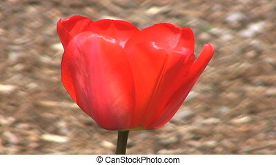Red Tulip Close Up