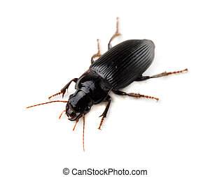 Ground beetle Tachyta nana isolated on white