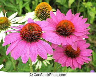 echinacea flowers - close-up of pink echinacea flowers in a...