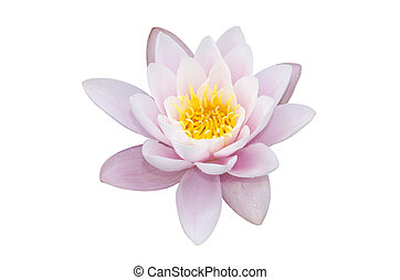 lotus flower isolated on a white background