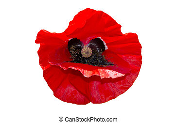 poppy flower isolated on a white background