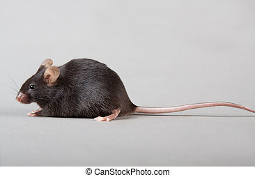 laboratory mouse - black laboratory mouse isolated on grey...