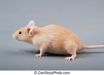 laboratory mouse - yellow laboratory mouse isolated on grey...