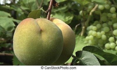 Peach - ripe peach in the garden