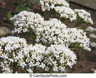 Valerian flowers blooming