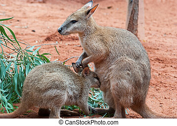 Mother and Baby Kangaroos - Australian iconic animal, brown...