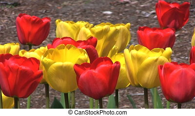Close Up Red And Yellow Tulips - Pretty Red And Yellow...